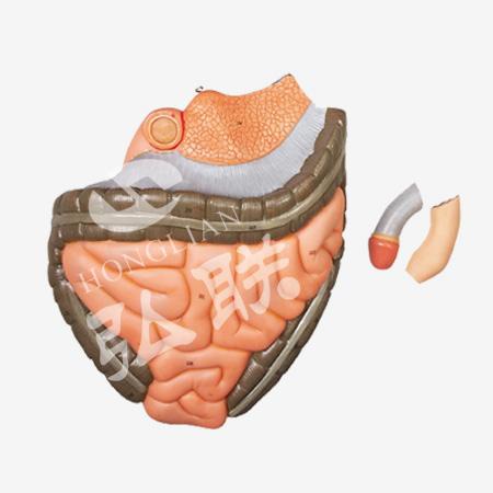 人体全身层次肌肉附内脏模型 | 产品展示 整体解剖